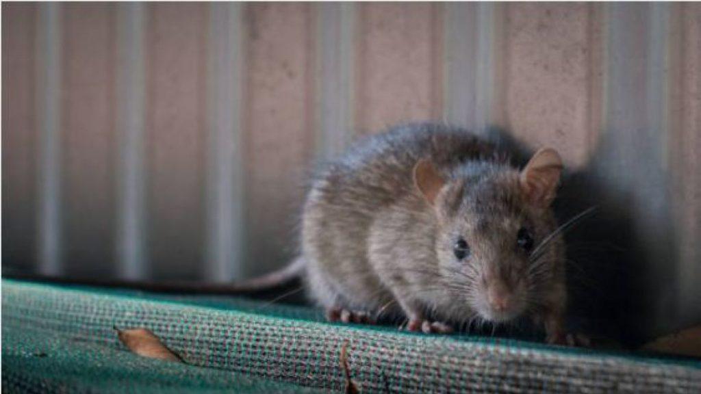 ¿Qué significa soñar con ratas? 2019