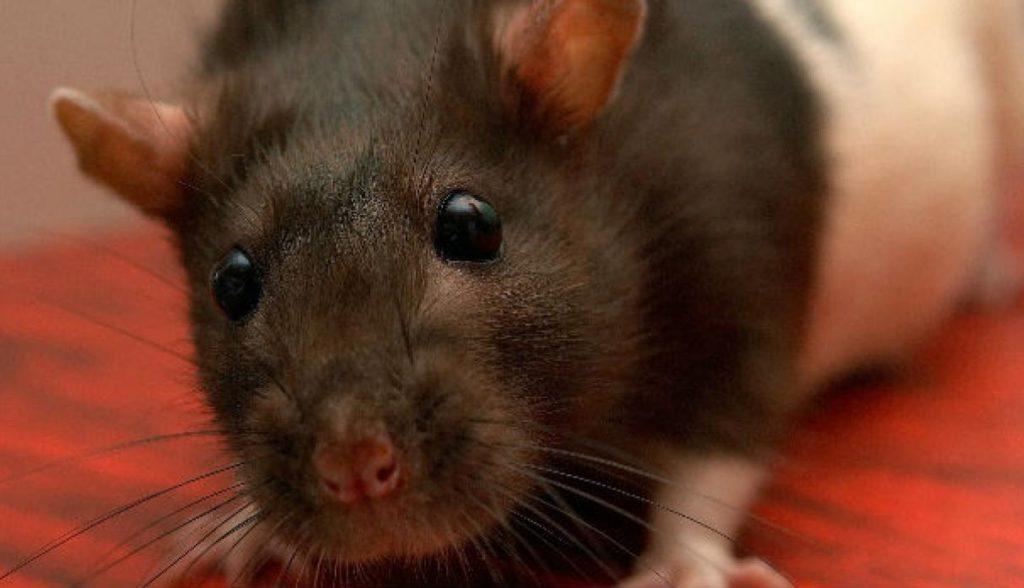 ¿Qué significa soñar con ratas? 2020