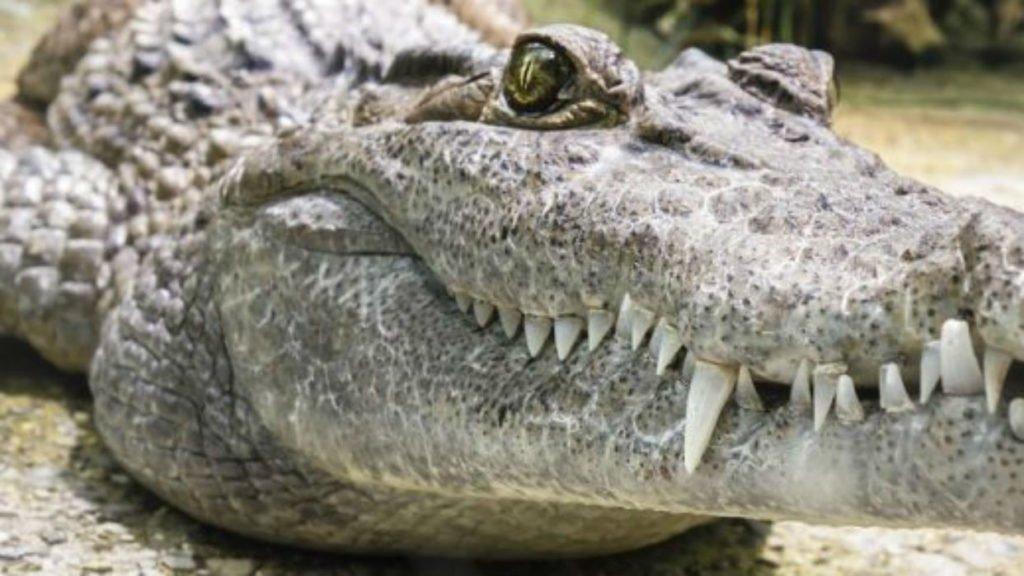 Soñar con cocodrilos 2021