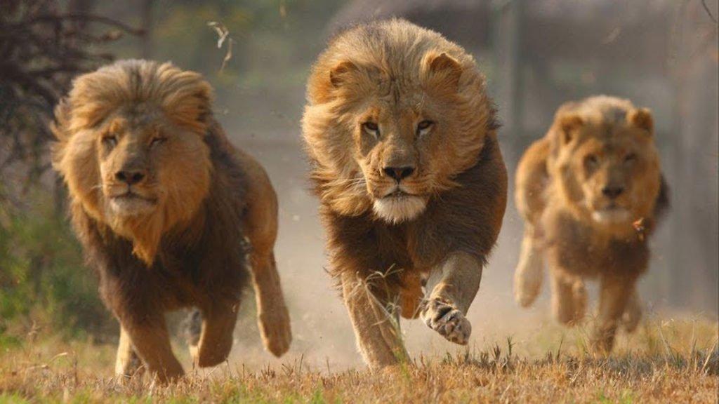leones rescate