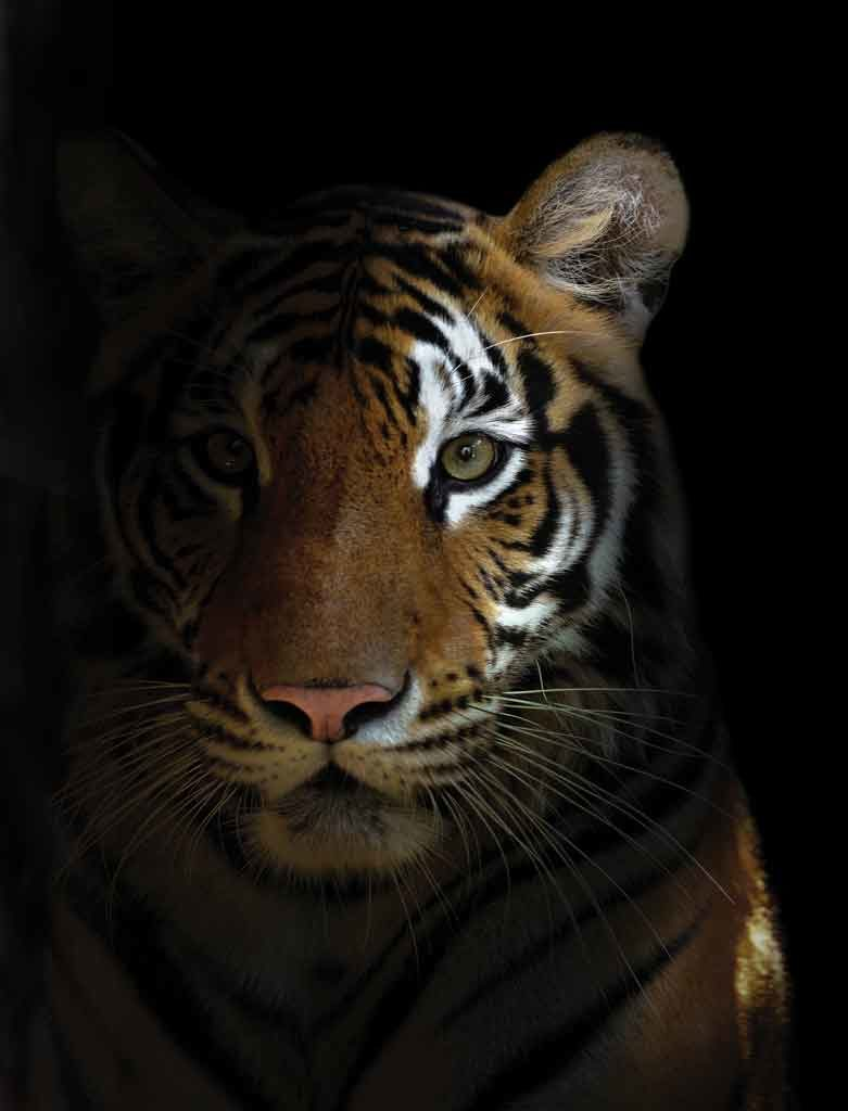 Significado de soñar con tigres 2020