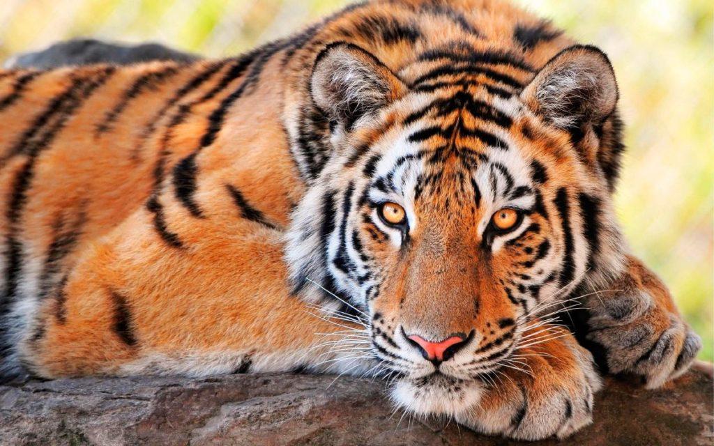 Significado de soñar con tigres 2021