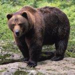 ¿Qué significa soñar con osos?