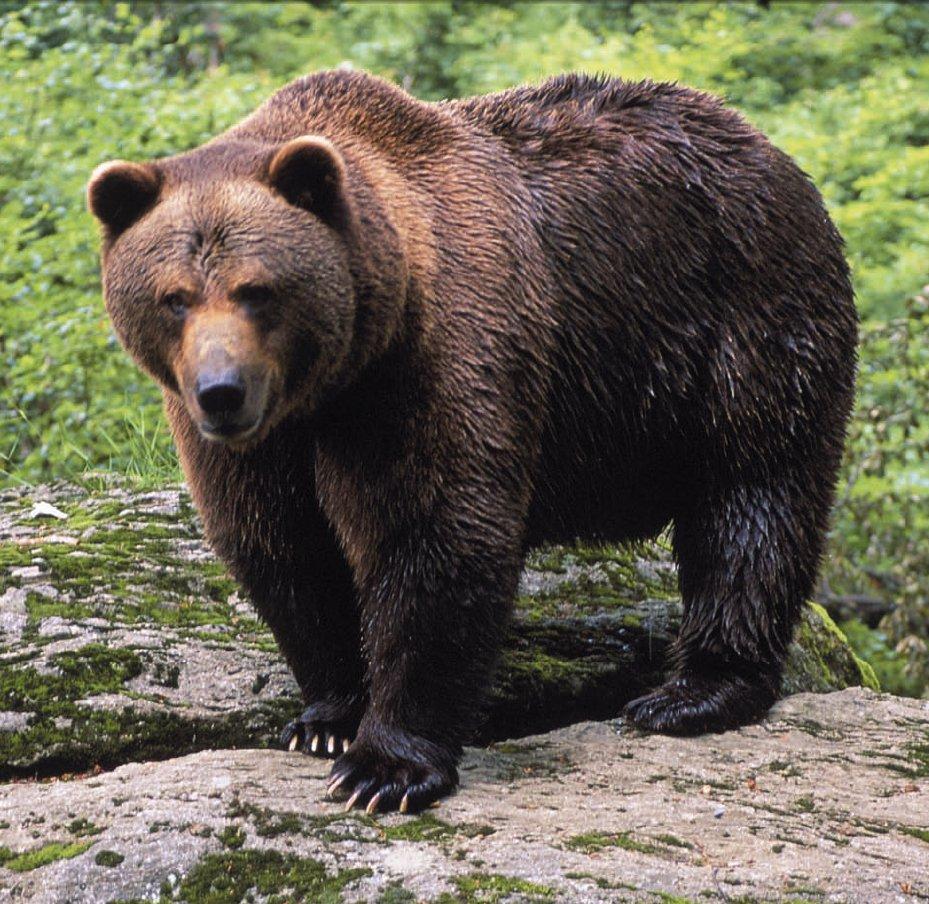 El ADN de fosiles de osos aporta datos geneticos esenciales para la conservacion de la especie