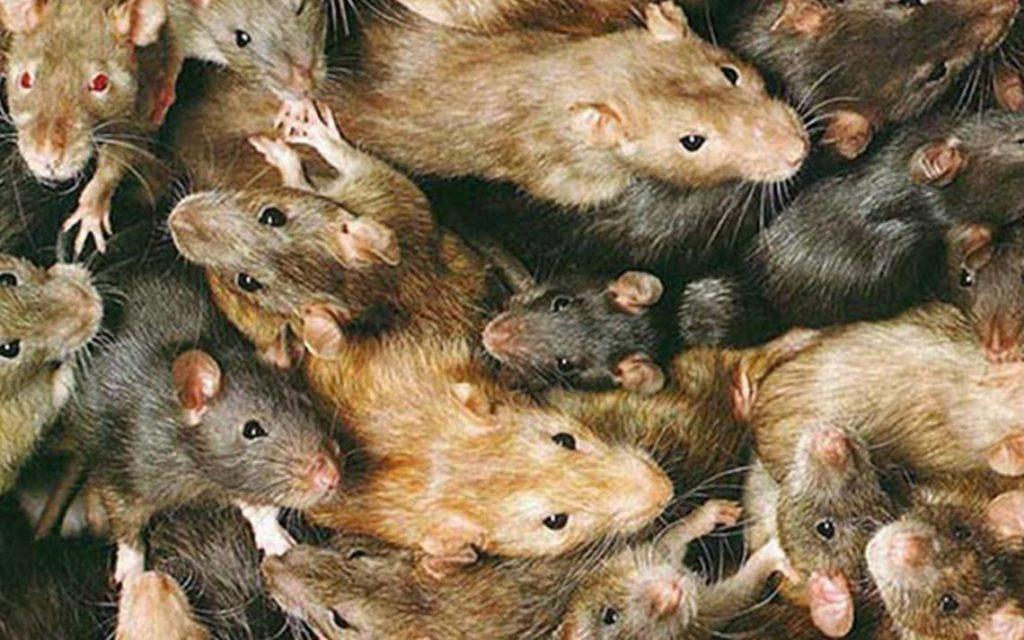 ¿Qué significa soñar con ratones? 2019
