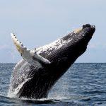 ¿Qué significado tiene soñar con ballenas?