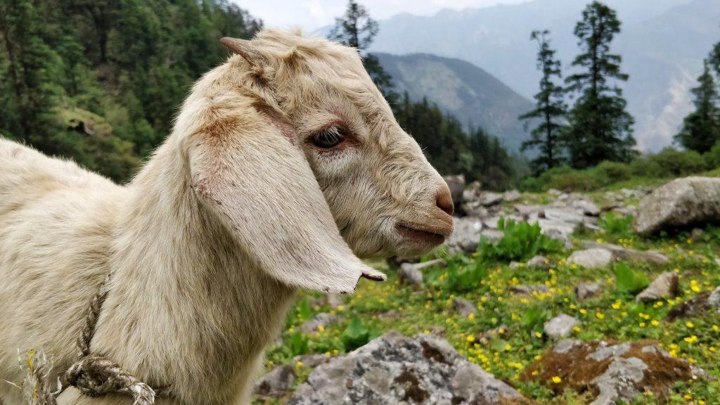 Soñar con cabra, un animal bastante particular 2020
