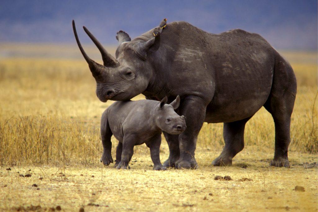 Soñar con rinoceronte: Esfuérzate por alcanzar tus objetivos 2021