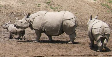 Soñar con rinoceronte: Esfuérzate por alcanzar tus objetivos